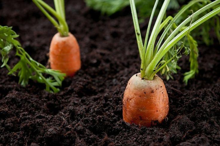 Перед посевом семена моркови ссыпьте в тряпочку, завяжите в узелок и на длинной веревочке опустите в бочку с холодной водой на 2-3 дня. Там они набухают и проходят закалку. Затем их в той же тряпоч…