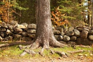 how to get rid of tree roots in yard