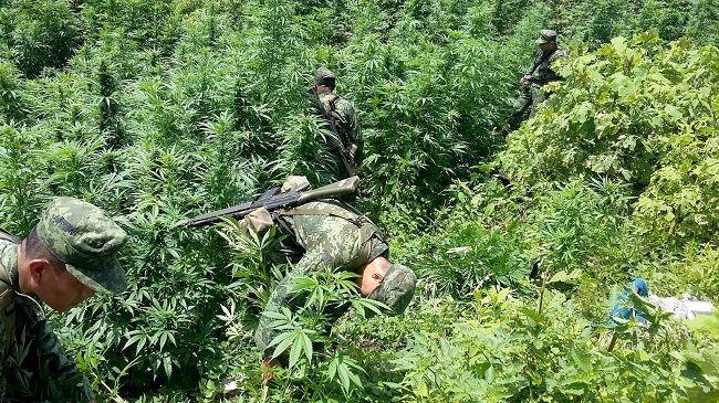 Ejército Mexicano destruye plantío de marihuana - http://www.notimundo.com.mx/estados/ejercito-mexicano-plantio-marihuana/