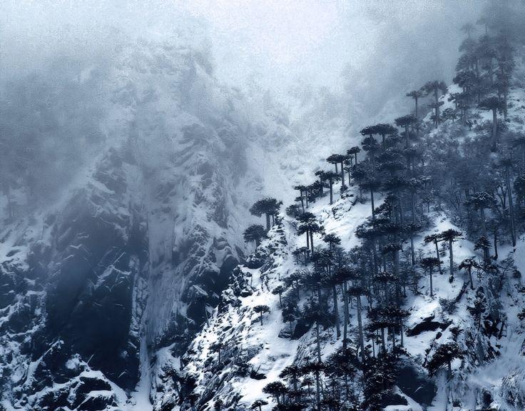 La mejor y más majestuosa compañía, araucarias milenarias del Parque Nacional Huerquehue, Pucon. Chile