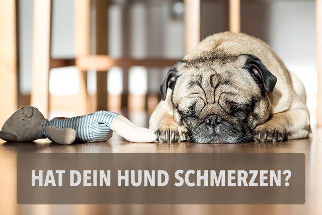 21 Punkte die dir verraten, ob dein Hund Schmerzen hat! | miDoggy Community