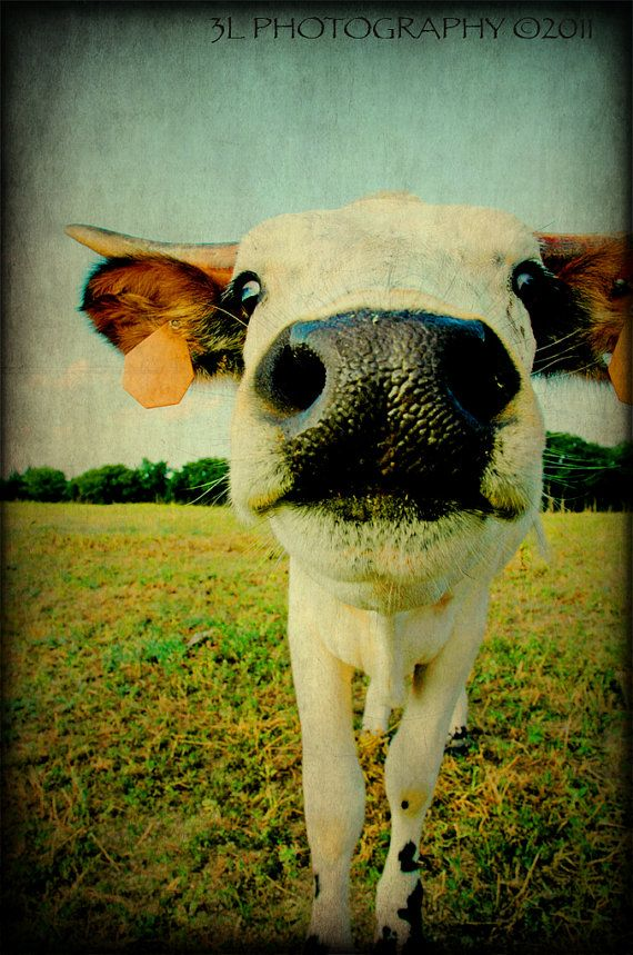 Fine Art Western Texas Rustic Cow Longhorn by 3LPhotography, $25.00
