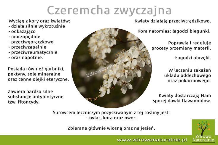 ZdrowoNaturalnie.pl: Czeremcha zwyczajna