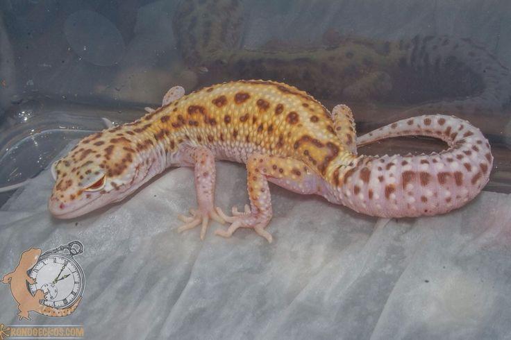 gecko leopardo W&Y mack snow radar