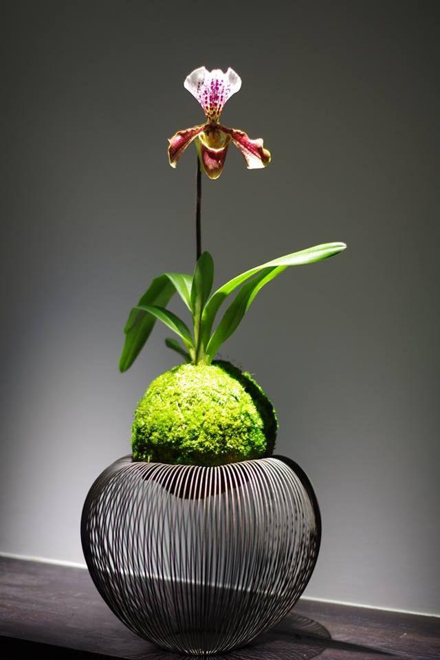 Kokedama moss ball slipper orchid. Kokedama - orquídea sapatinho em bola de musgo. Uma beleza! Criatividade. Arte ancestral comtemplativa japonesa.