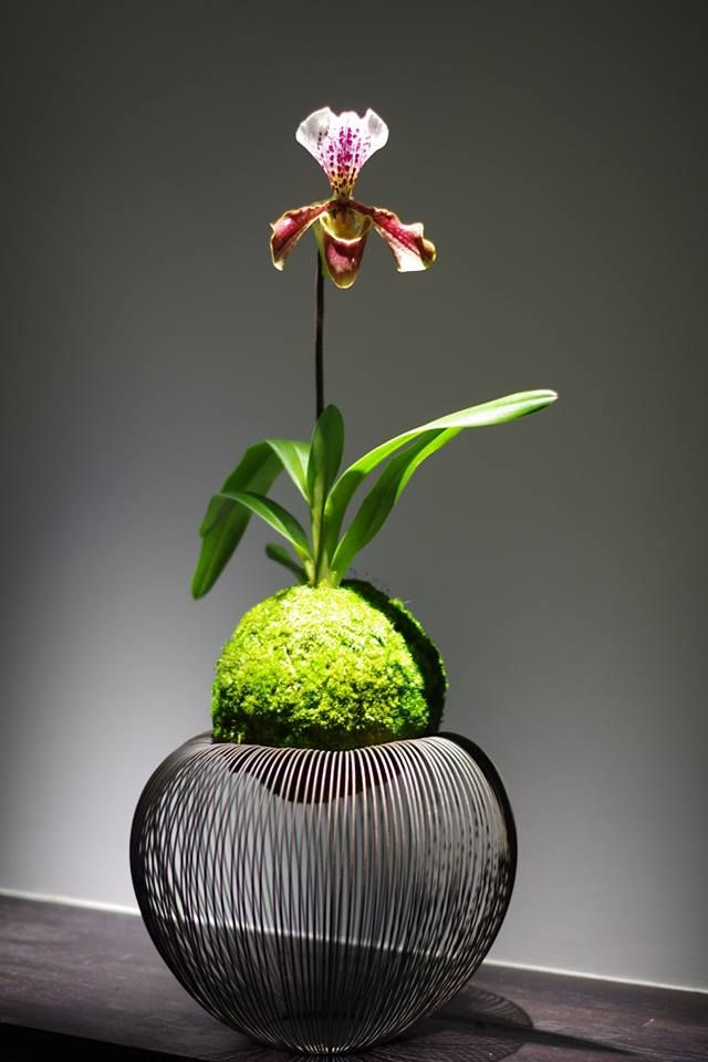 Kokedama moss ball slipper orchid. Kodedama - orquídea sapatinho em bola de musgo. Uma beleza! Criatividade. Arte ancestral comtemplativa japonesa.