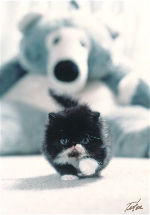 Black And White Persian Kitten | http://fallinpets.com/persian-cat-kittens-will-melt-your-heart/