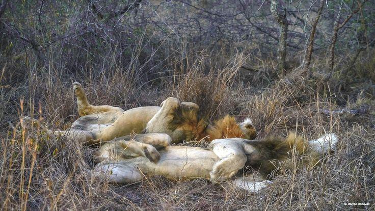 Lazy lions :-)