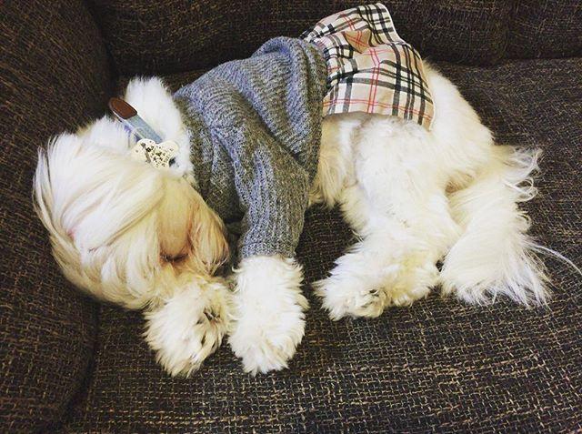 2016.03.2 - この時は、袖のある服を着てくれたのになぁ🤔💭 - #maltese  #maltesegirl #maltesedog  #malteselove  #まるちーず  #マルチーズのcoco #まるちーず大好き  #ふわふわ  #もふもふ  #白犬  #愛犬  #癒し犬 #癒し系女子 #coco