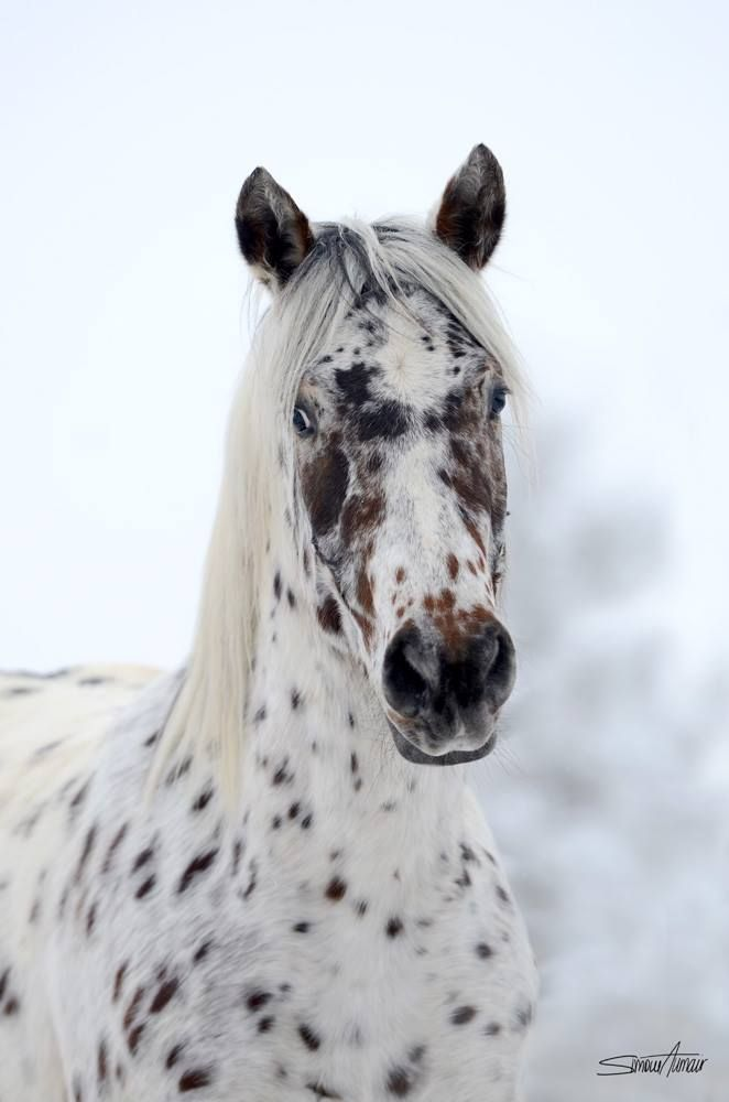 Fuzzy Leopard spotted  Appaloosa standing in the snow. Such a pretty face. Beautiful horse photography.