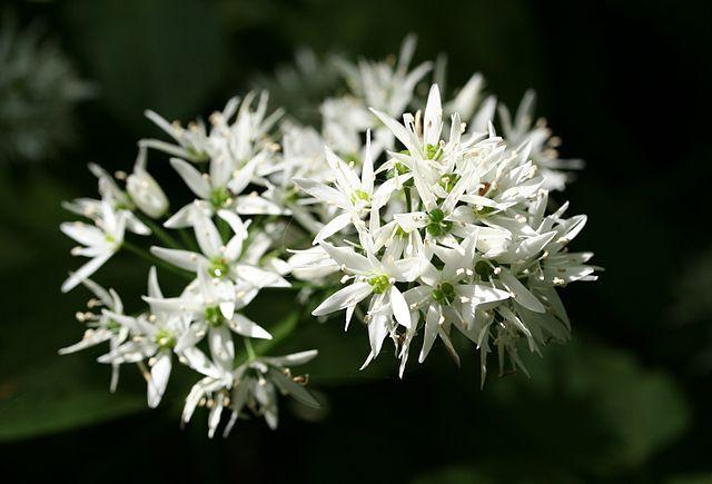 Daslook: Vaste plant, zeldzaam, bodembedekker, lookachtig, blaadjes lekker door de sla, houden katten uit de tuin