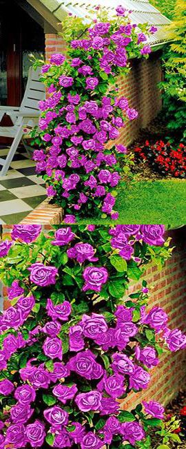 Purple climbing roses