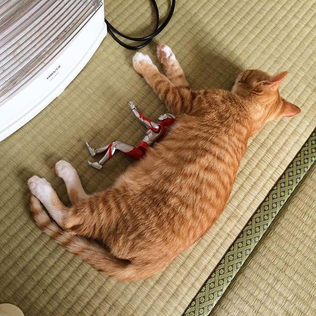 お昼寝 #猫 #子猫 #茶トラ #cat #kitten