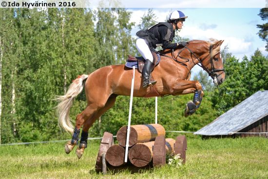 Finnhorse stallion Hiljalan Fantom competing in cross country