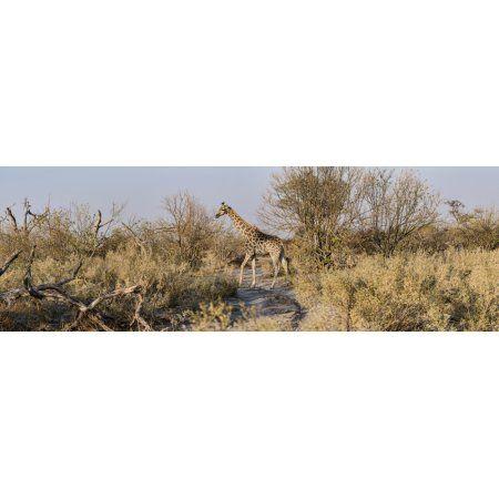Giraffe (Giraffa camelopardalis) standing in a forest Chitabe Okavango Delta Botswana Canvas Art - Panoramic Images (36 x 12)