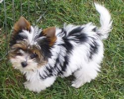 Biewer Terrier Breed Information & Pictures ()