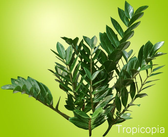 ZZ Plants Make Great Office Plants And Houseplants But Are Poisonous.