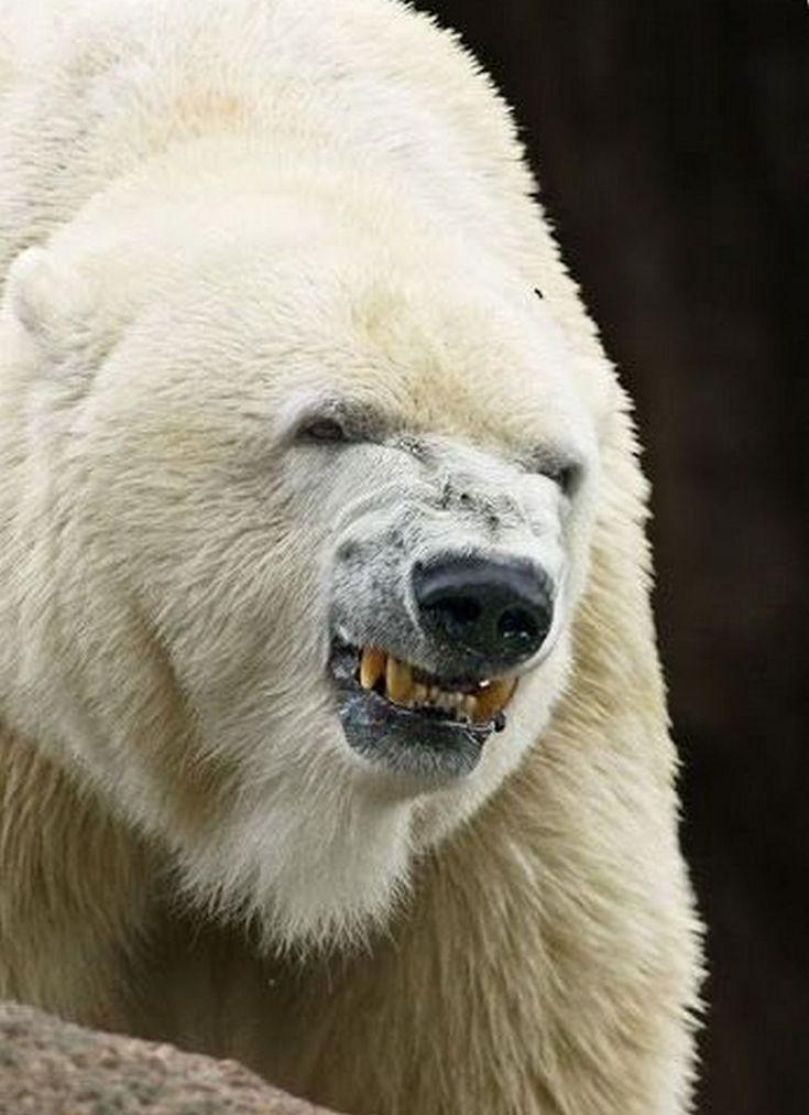 оскал белого медведя картинки или новообразование