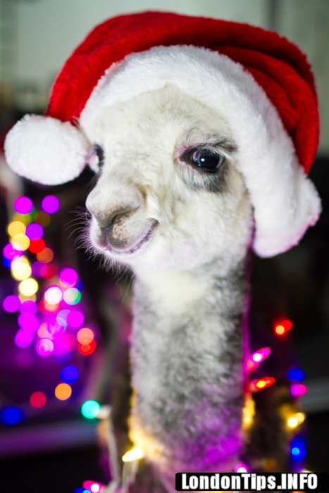 christmas llama and lights!