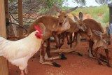 Cluck Norris is now 'one of the family' at Erldunda - Meet 'Cluck Norris', the outback rooster who thinks he is a kangaroo