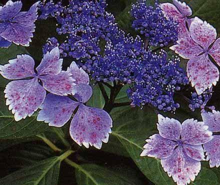 Гортензия садовая Интермедия (Hydrangea serrata Intermedia) - Лиственные - Каталог - Питомник растений: орех маньчжурский, туя,