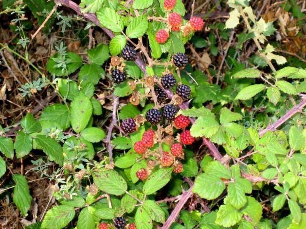 Propiedades de la Zarzamora (Blackberry)