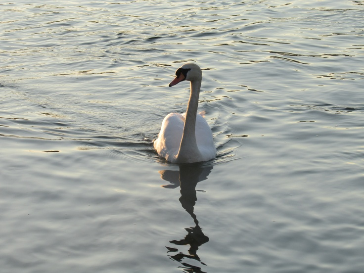 Swan - This beautiful bird represents what the city of Geneva is like, very peaceful and relaxing!
