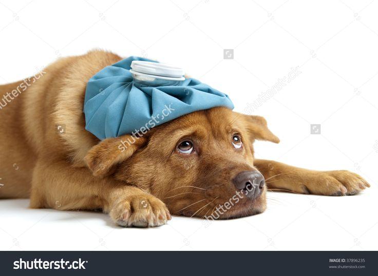 Sick Dog Sideways On White Background Stock Photo 37896235