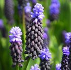Muscari latifolium grape hyacinth Position: full sun or light shade Soil: moderately fertile, well-drained soil Rate of growth: average Flowering period: March Flower colour: dark blue topped with paler blue flowers Hardiness: frost hardy Height; 15cm