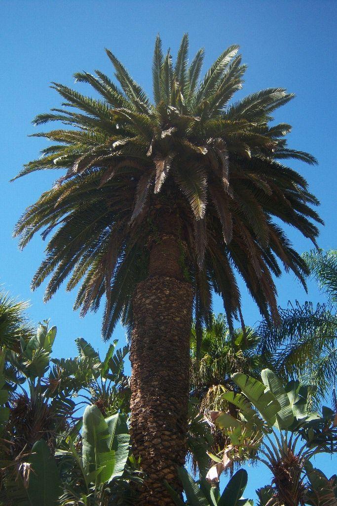 les 25 meilleures id es de la cat gorie palmier phoenix sur pinterest styles palm beach. Black Bedroom Furniture Sets. Home Design Ideas