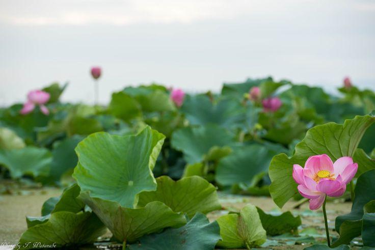 Shiga-ken, shiga-ken, Japanで撮影された写真 湖面に咲く蓮 : パシャデリック