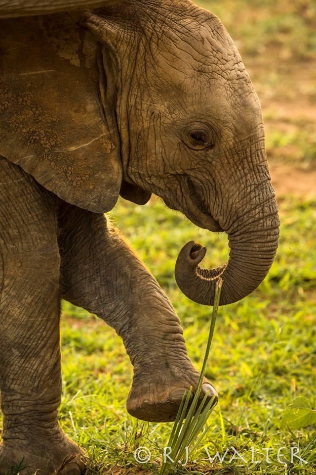 🐘😍❤️ Photo by R J Walker