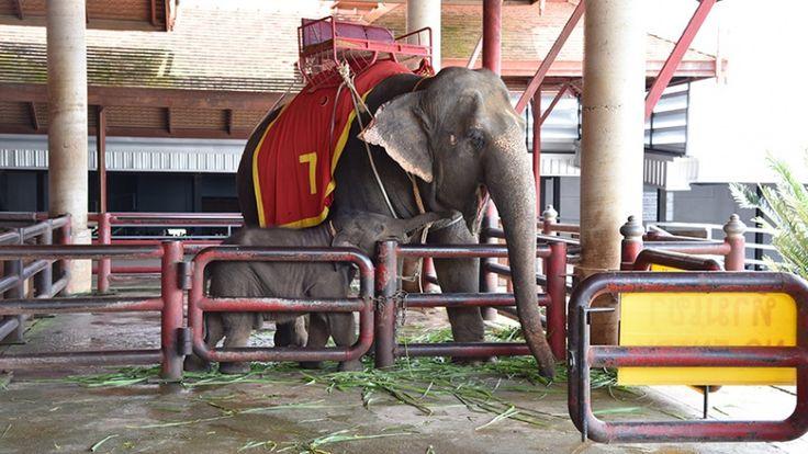 In Azië is het aantal olifanten in gevangenschap voor de vermaak van toeristen sterk gestegen.