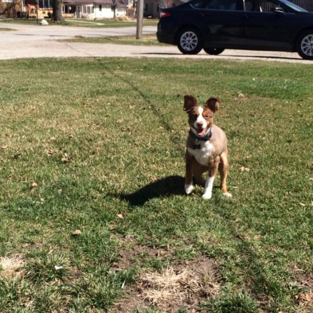 Loving this weather #MiniAussie #Fetch #HurleyToy