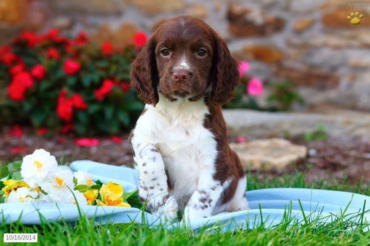English Springer Spaniel Puppy for Sale in Pennsylvania