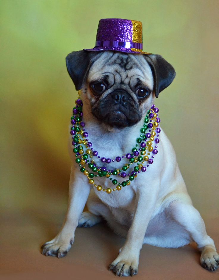 https://flic.kr/p/RkRBmY | Mardi Gras Boo | Boo is all dressed up and ready for the Mardi Gras Parade!