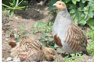 Grey partridge farm offers renewed optimism for rare bird