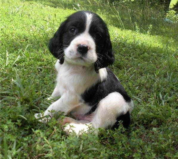 English springer spaniel puppy! Precious!