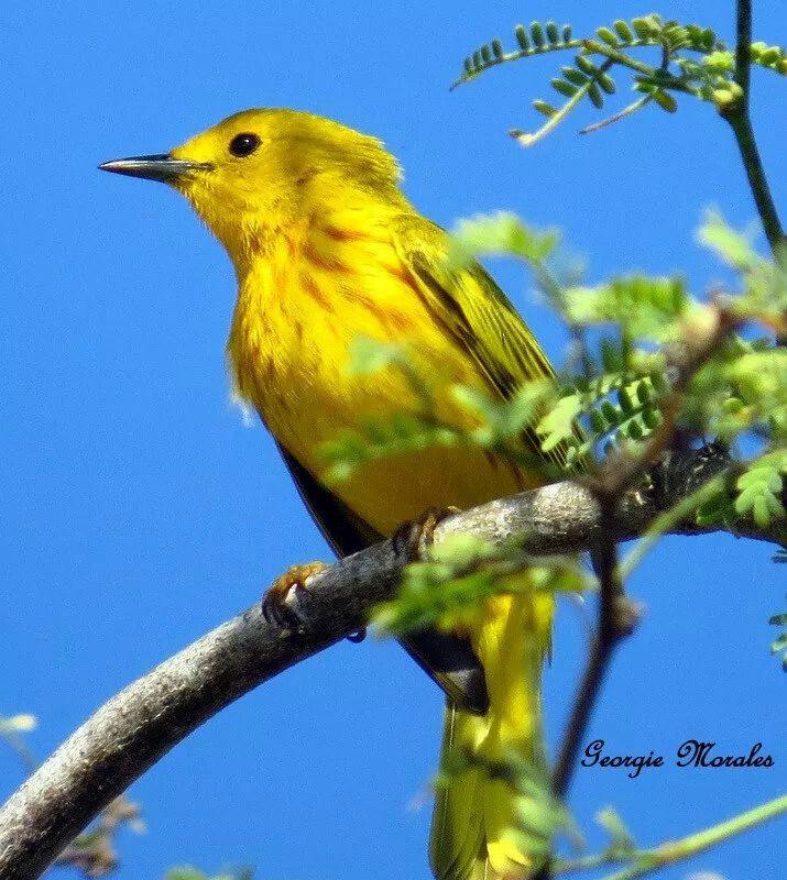 Canario de Mangle foto tomada en Cabo Rojo, P.R. Identificación Ave de plumaje amarillo brillante, dorso amarillo oliváceo o verdoso con pecho estriado de castaño rojizo. Los machos tienen el pecho más estriado que las hembras. Residente permanente. Tamaño de 12 a 13 cm. Hábitat Especie común en costas, manglares y bosques secos, especialmente en el suroeste de la isla.