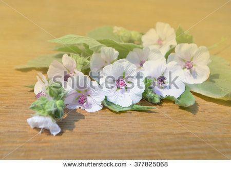 Althaea. Marshmallow flower