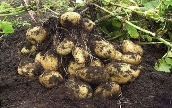 Картофель. Как с 20 кустов собрать 40 ведер    овощи