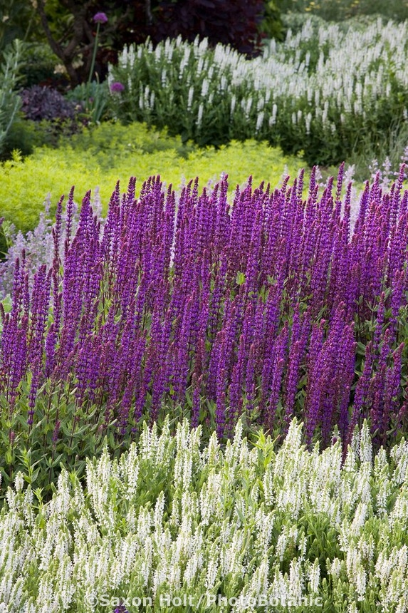 29 best images about meadow sage salvia on pinterest gardens sun and purple salvia. Black Bedroom Furniture Sets. Home Design Ideas