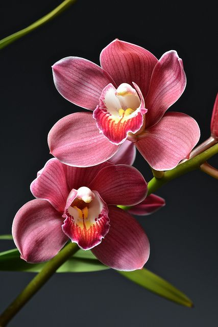 Cymbidium Royal Red ~ 'Princess Nobuko'