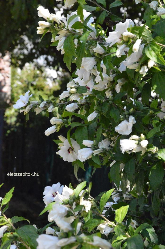 Szubtrópusi szépség, ami a mi klímánkon is megél. Egész nyáron virágzik a kerti hibiszkusz! | Életszépítők