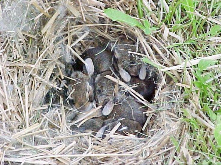 Caution Wildlife Baby Season: Baby Bunnies in Yard in 2020 ...
