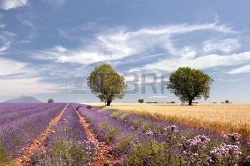 france flower: Campi di grano accanto ai campi di lavanda della Provenza francese vicino Valensole Archivio Fotografico