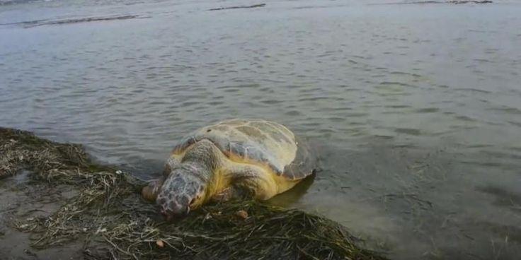 Ούτε μία, ούτε δύο, αλλά επτά νεκρές θαλάσσιες χελώνες ξεβράστηκαν στην ακτή – Η μία ήταν τραυματισμένη (ΒΙΝΤΕΟ)