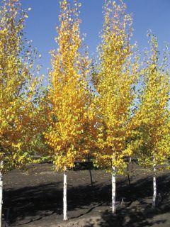38 Best Trees Columnar Images On Pinterest Columnar