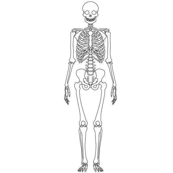 Simple Skeleton Diagram to Label New Imagequiz Outline ...