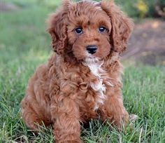 cavapoo full grown - Google Search